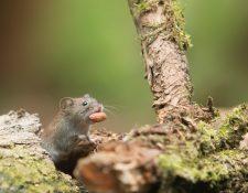 Los roedores son la principal causa de la transmisión del hantavirus (Foto Prensa Libre: servicios / Pexels).