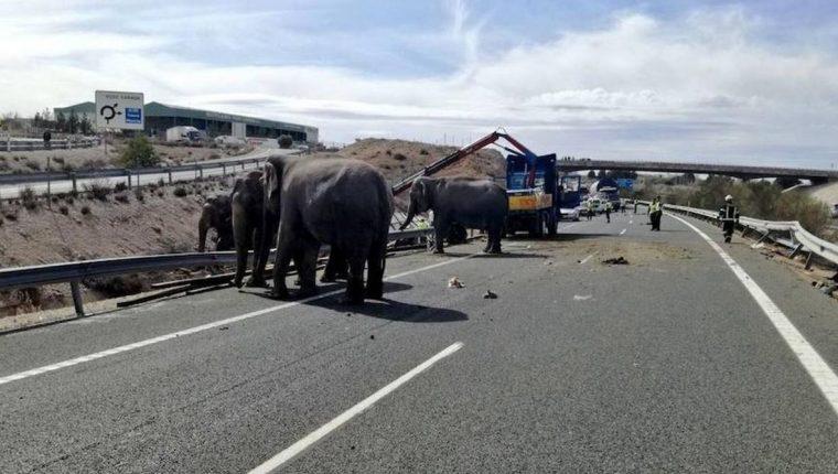 La localidad albaceteña de Pozo Cañada cerró debido al accidente de un camión que ha provocado que los elefantes que transportaba hayan quedado suelto. (Foto Prensa Libre: ABC)