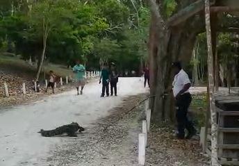Uno de los guardabosques aleja al cocodrilo del área donde caminan turistas para evitar algún incidente. (Foto Prensa Libre: Tomada del video)