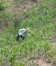 Informe revela que precios del maíz y frijol aumentaron en un mes.