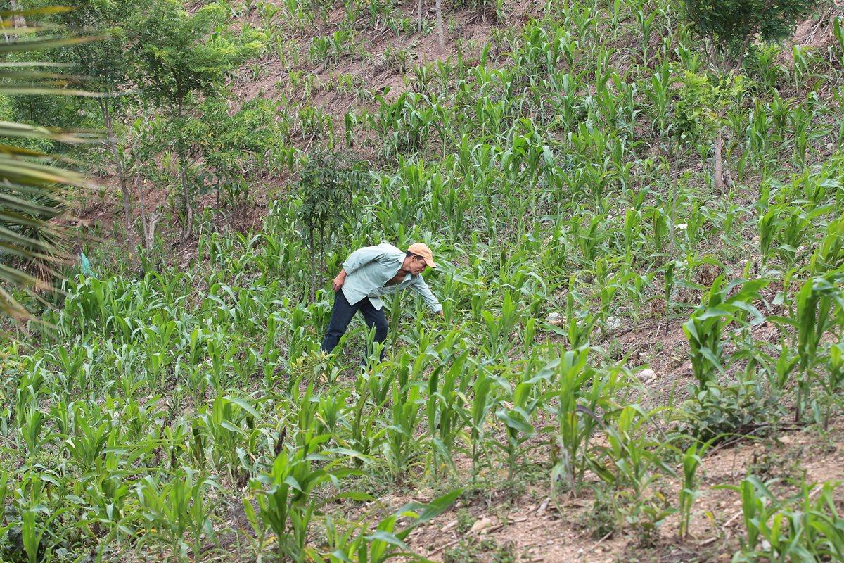 Aumenta precio del maíz y frijol en el país