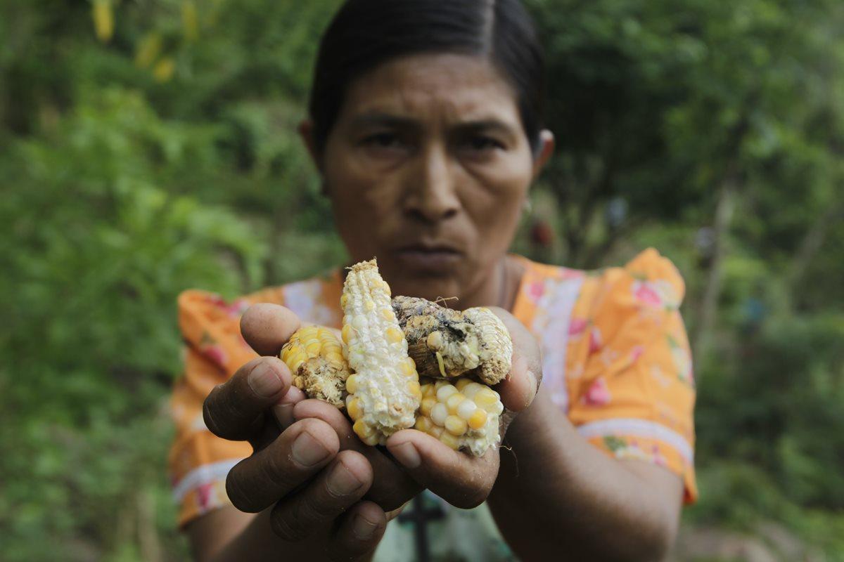 La milpa no se desarrolla por la falta de agua y amenaza la seguridad alimentaria de comunidades completas. (Foto: Prensa Libre)