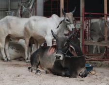 En el marco de la Semana del Ganadero y Expoleche 2018, en las instalaciones del Parque de la Industria se montaron varias exposiciones de ganado y productos derivados. (Foto, Prensa Libre: Juan Diego González).