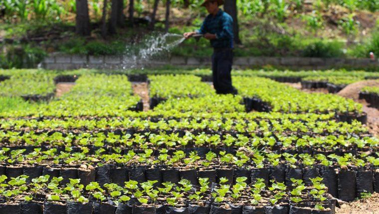 El sector caficultor anticipa que podría haber efectos para la cosecha 2018-19, influenciada por el precio. (Foto Prensa Libre: Hemeroteca)