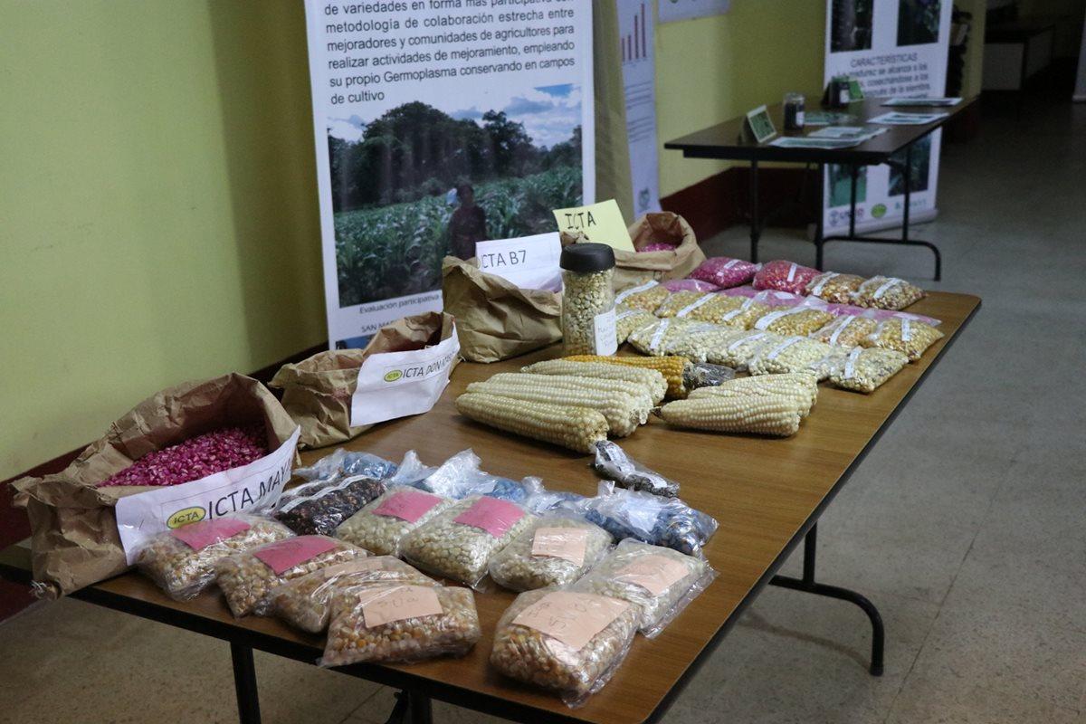 Semillas mejoradas de maíz buscan combatir la desnutrición en el occidente