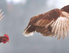 """¿Vivimos en el planeta """"de los pollos""""? GETTY IMAGES"""