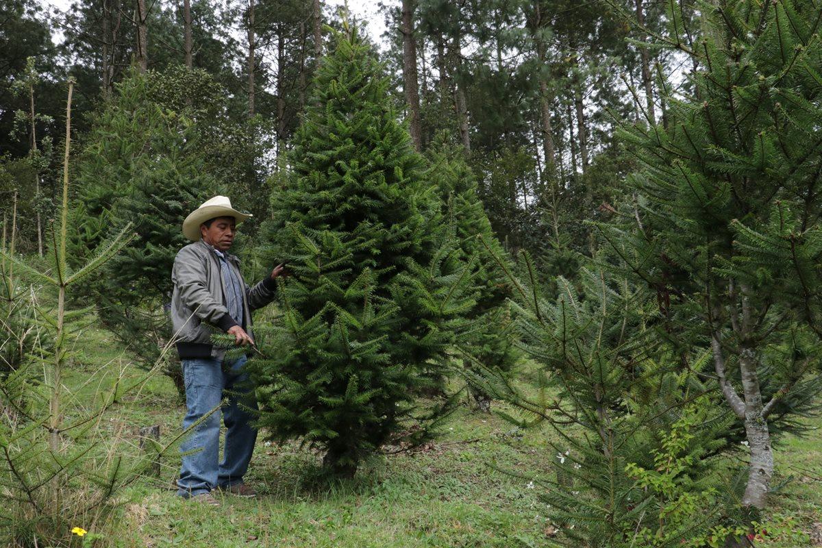 Felipe López, trabajador de una finca productora de pinabete, explica cómo debe hacerse la poda de un pinabete. (Foto Prensa Libre: Cortesía Víctor Chamalé)