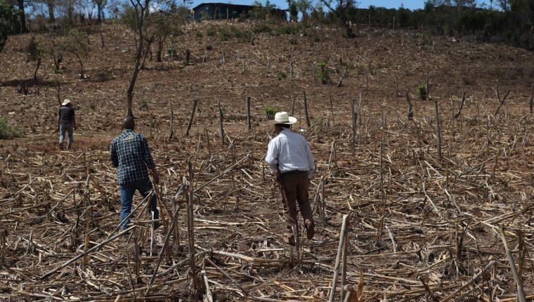 La escasez de lluvia este año afectó la cosecha de maíz de familias pobres. (Foto Prensa Libre: Hemeroteca PL)