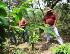 La iniciativa propone una ampliación del plazo del Fideicomiso de Apoyo Financiero para los productores del sector cafetalero hasta el 23 de octubre de 2051. (Foto Prensa Libre: Hemeroteca)