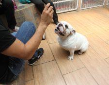 A los canes se les ve a los ojos y se les premia después de cumplir la petición con comida o con su juguete favorito. (Foto Prensa Libre, Keneth Cruz)
