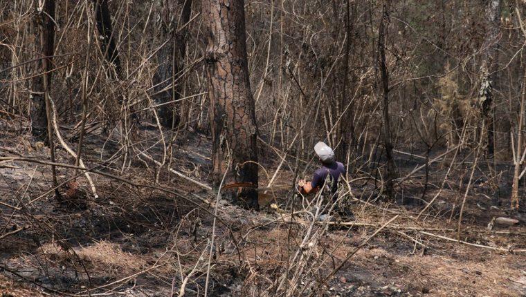 Unos 81 árboles fueron talados debido a que ya están infestados de gorgojo. (Foto Prensa Libre: Víctor Chamalé)