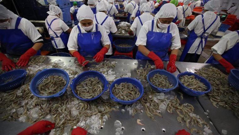 Uno de los productos que exporta Guatemala a Taiwán y Asia es el camarón, además de macadamia, miel, café y otros. (Foto, Prensa Libre: Hemeroteca PL).