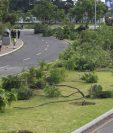 Los árboles de jacaranda fueron talados el miércoles en horas de la madrugada. (Foto Prensa Libre: Estuardo Paredes)