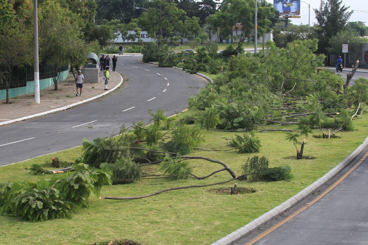 Especialistas: Tala ilegal de jacarandas en la zona 13 dejó daño irreversible