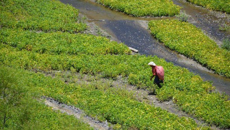 La sequía que ha atacado regiones como Chiquimula obligó a un grupo de vecinos a utilizar las playas y aguas del río Sulayito para cultivar frijol. (FOTO Prensa Libre: Hemeroteca)