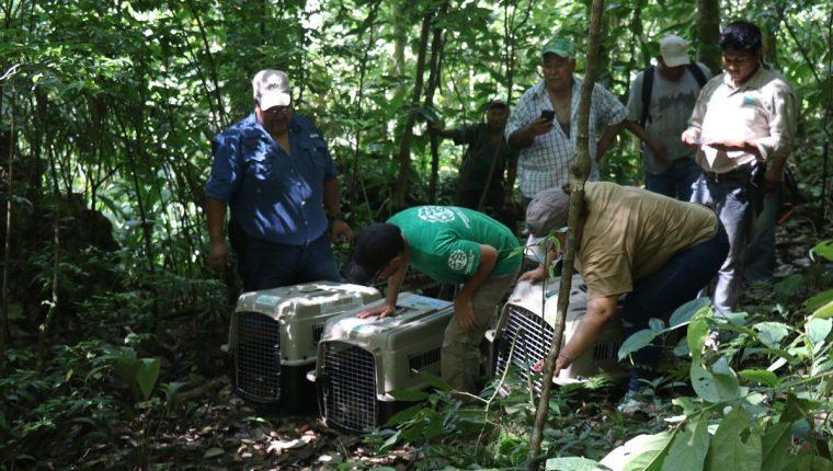 Los animales fueron liberados en reservas de Izabal. (Foto Prensa Libre: Dony Stewart).