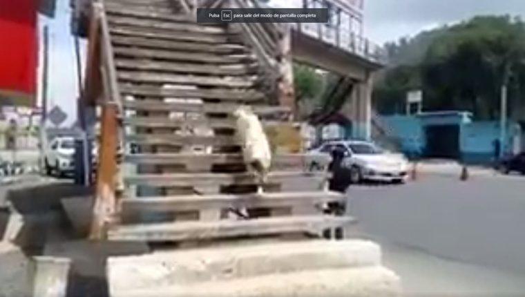 Pasarela ubicada en el km 49 de la ruta Interamericana, en Chimaltenango, es utilizada por un perro para cruzar la calle. (Foto Prensa Libre: Provial)