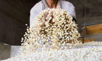 Para esta cosecha se proyecta una producción de 36 a 40 millones de quintales de maíz, que es el principal cultivo de cosecha, según la Encuesta Nacional Agropecuaria. (Foto Prensa Libre: Hemeroteca)