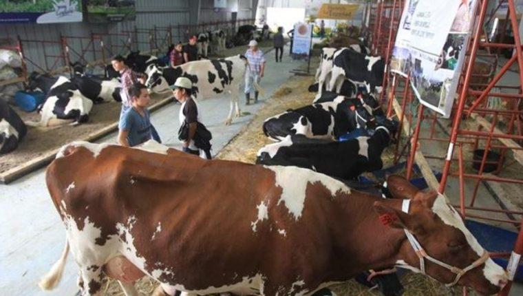 El hato lechero en Guatemala es de 350 mil vacas que producen 1.6 millones de litros diarios de leche, según los productores. El sector genera entre 35 a 45 mil empleos directos e indirectos. (Foto Prensa Libre: Hemeroteca)