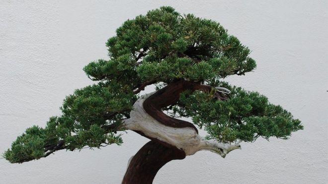 Los bonsáis pueden vivir durante siglos. GETTY IMAGES