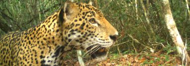 La población de Jaguares en el área norte de Petén es significativa, por lo que se promueven varios programas de conservación. (Foto Prensa Libre: Cortesía Francisco Asturias)
