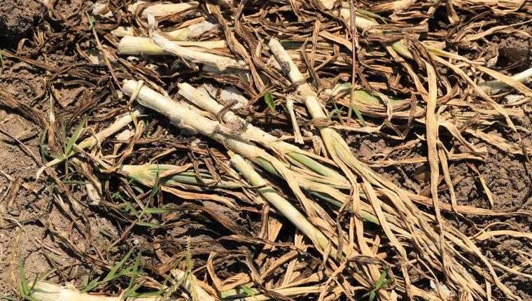 El insecto Trip Tabaci ha desarrollado una enfermedad con la que afectará entre el 50% al 70% de las cosechas en el país.