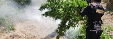 Agentes antinarcóticos destruyen matas de marihuana en Totonicapán. (Foto Prensa Libre: PNC).