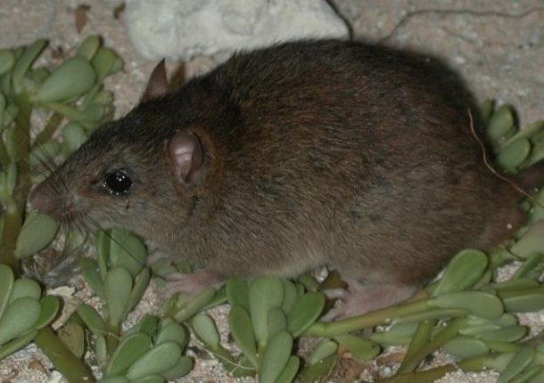 El roedor habitaba en las islas de Australia; un ejemplar de esta especie fue visto por última vez en 2009. (Foto Prensa Libre: AJ)