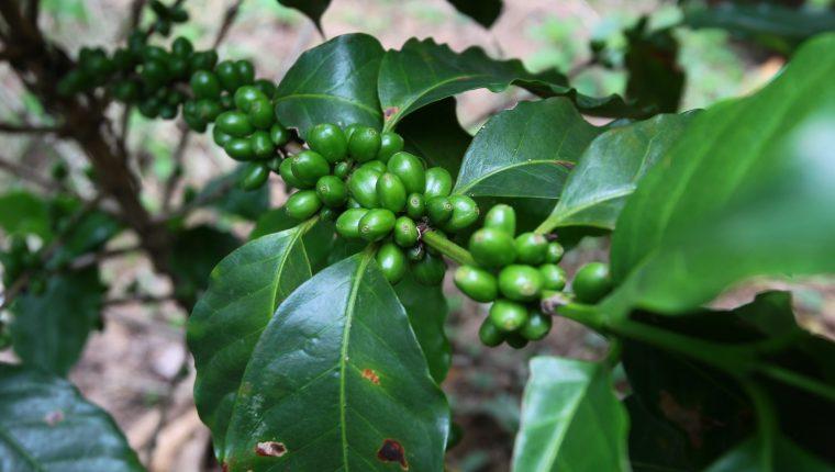 El sector cafetalero guatemalteco afronta dificultades, no solo por la roya —un hongo que ataca a los cafetales—, sino por los bajos precios que se cotizan en el mercado internacional. (Foto Prensa Libre: Hemeroteca)