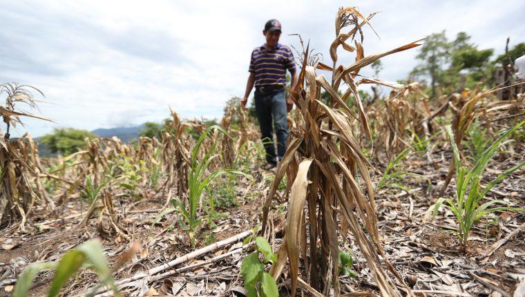 La falta de lluvia en 2018 azotó a 21 de 22 departamentos, donde campesinos perdieron el 75 o hasta el cien por ciento de su siembra. (Foto Prensa Libre: Hemeroteca PL)