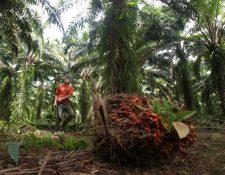 La producción de aceite de palma africana será de 900 mil toneladas y pondrá a Guatemala como el segundo productor más importante de Latinoamerica, según Grepalma. (Foto Prensa Libre: Hemeroteca)