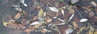 Peces muertos fueron localizados por pobladores a la orilla del río Xab, en El Asintal, Retalhuleu. (Foto Prensa Libre: Rolando Miranda).