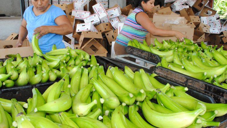 La exportación de banano alcanzó una cifra histórica de US$815 millones el año pasado, siendo el principal producto agrícola colocado en el mercado exterior. (Foto Prensa Libre: Hemeroteca)