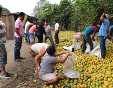 Personas recogen naranjas de camión accidentado en la ruta a Morales. (Foto Prensa Libre: Dony Stewart).