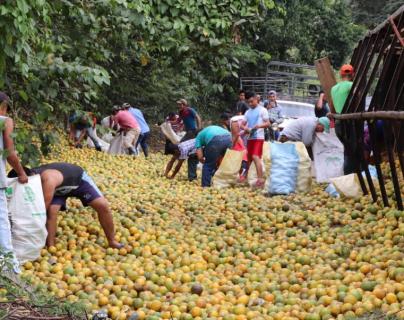 Personas se llevan naranjas que eran transportadas en camión accidentado en Izabal. (Foto Prensa Libre: Dony Steawrt).