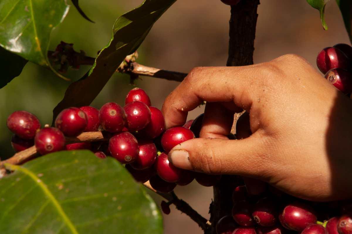 Precios internacionales del café ponen en riesgo próxima cosecha en Guatemala