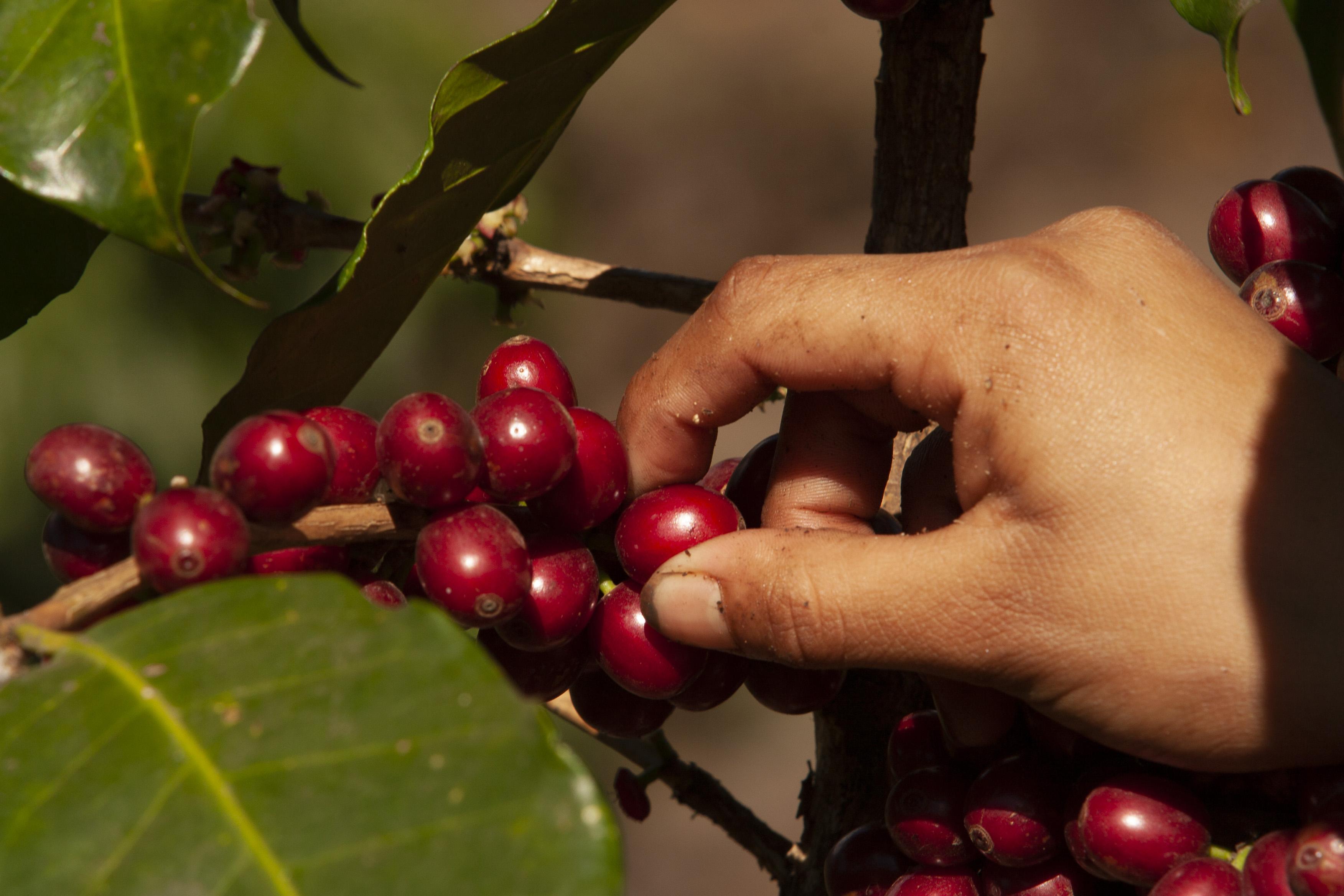 Anacafé alertó que debido a los bajos precios internacionales del café los productores dejan de realizar trabajos de fertilización y mantenimiento. (Foto Prensa Libre: Hemeroteca)