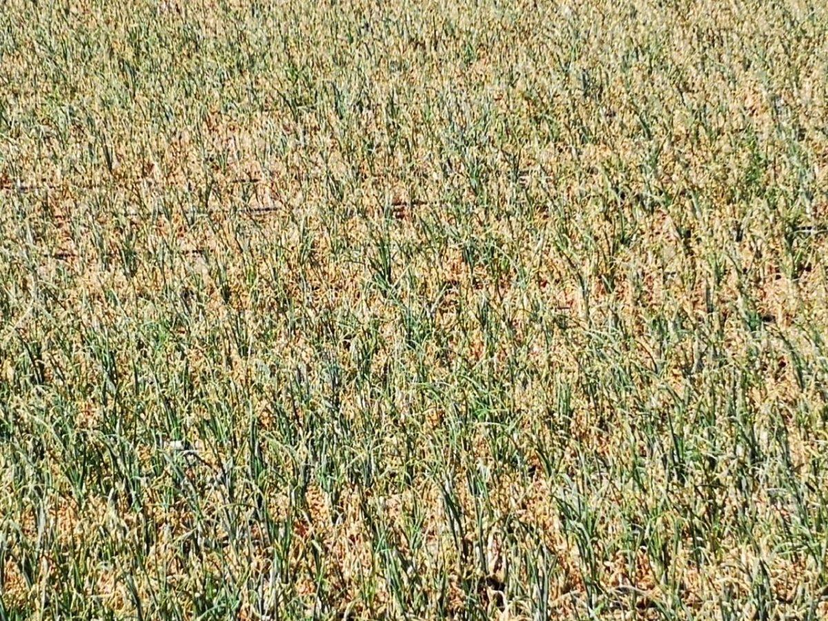 Esta es la plaga que provocó escasez de cebolla en el país (y que subiera el precio)
