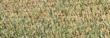 Cultivos de cebolla  fueron atacados por un virus transmitido por la plaga Trip Tabaci según Fasagua, lo que no permite el desarrollo de la planta. (Foto, Prensa Libre: Fasagua).