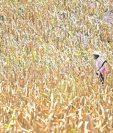 Los efectos del cambio climático se observan en el desfase cuando llueve en exceso en un sitio y otro aumenta el desierto, explica Orozco. (Foto, Prensa Libre: Hemeroteca PL).