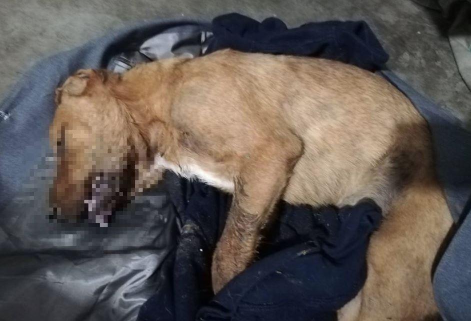 Una de las mascotas envenenadas en el albergue Abrazo Animal, que funciona en Las Ilusiones, zona 18. (Foto Prensa Libre: Cortesía)