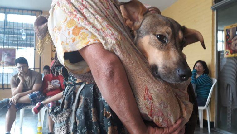 Organizaciones que velan por el bienestar animal realizan jornadas de atención y castración de perros y gatos gratuitas o a bajo costo. (Foto Prensa Libre: Cortesía)