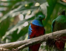 El ave nacional es el protagonista del documental realizado por el guatemalteco Ricky López. (Foto Prensa Libre: Cortesía Ricky López)