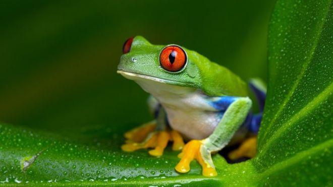 Las ranas Xenopus fueron utilizadas durante décadas para realizar pruebas de embarazo (GETTY IMAGES)