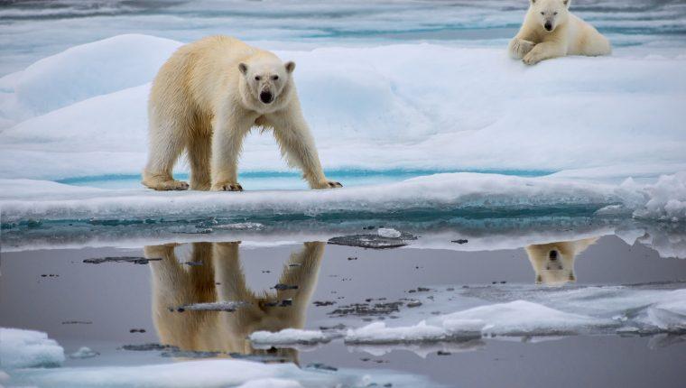 Los osos polares enfrentan dificultades para sobrevivr debido al descongelamiento de su hábitat (Foto Prensa Libre: Servicios)