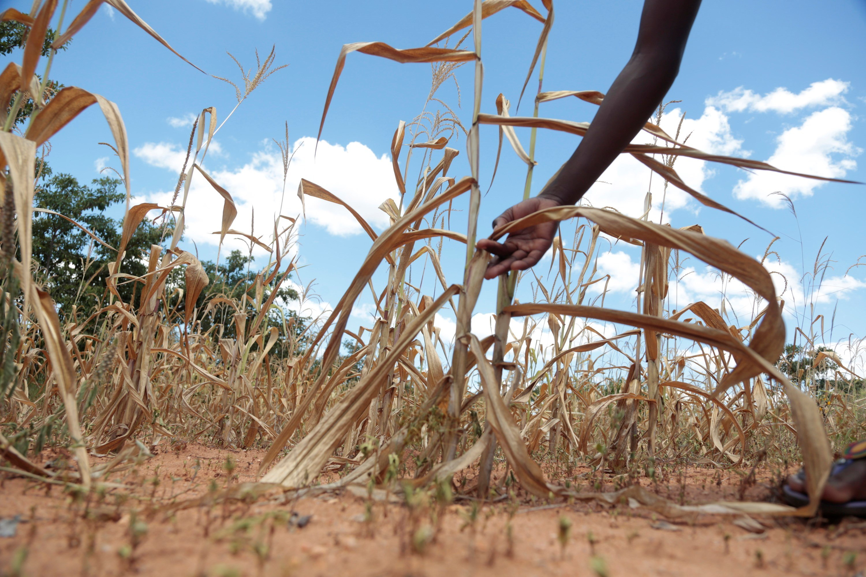 La canícula prolongada podría provocar pérdida de cultivos particularmente en el corredor seco. (Foto Prensa Libre: Hemeroteca PL)