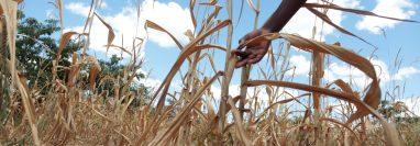 Las familias afectadas por la sequía que no han obtenido el cupón de Q200 tendrán que esperan hasta después de las elecciones para recibirlo. (Foto Prensa Libre: Hemeroteca PL)