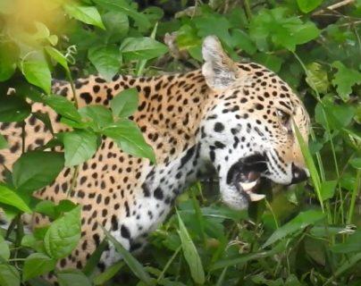 En la captura de video puede apreciarse a un jaguar en su hábitat natural en el Parque Nacional Mirador. (Foto Prensa Libre: Cortesía Francisco Asturias, FundaEco)