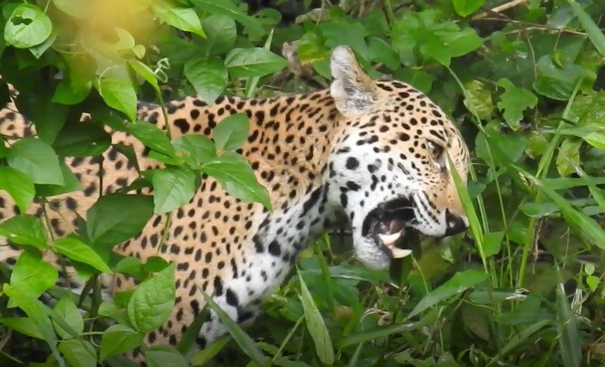 Captan a jaguar en su hábitat del Parque Nacional Mirador