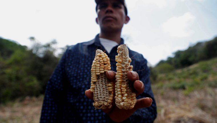 Las mazorcas no se desarrollaron debido a la sequía que afectó a San Andrés, Moyuta, Jutiapa.  (Foto Prensa Libre: EFE)